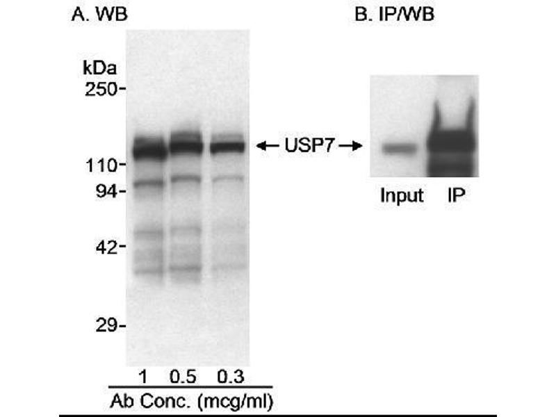Western Blotting (WB) image for anti-Ubiquitin Specific Peptidase 7 (Herpes Virus-Associated) (USP7) (AA 1-50) antibody (ABIN151954)