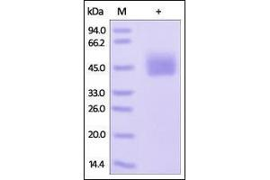 Image no. 1 for CD274 Molecule (CD274) (AA 19-238) (Active) protein (His tag) (ABIN2181635)