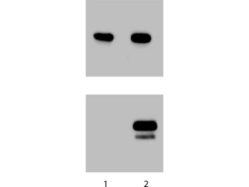 Western Blotting (WB) image for anti-STAT1 antibody (Signal Transducer and Activator of Transcription 1, 91kDa) (pTyr701) (ABIN968780)
