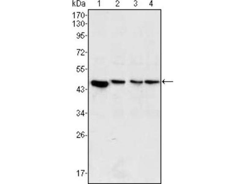 Western Blotting (WB) image for anti-Mitogen-Activated Protein Kinase Kinase 2 (MAP2K2) antibody (ABIN4333500)