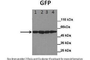 Western Blotting (WB) image for anti-GFP antibody (Green Fluorescent Protein) (ABIN2779186)