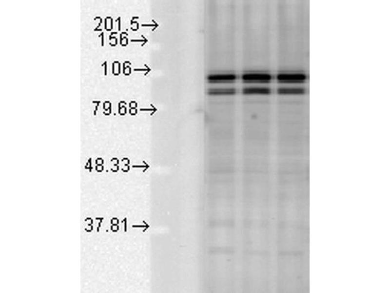 Western Blotting (WB) image for anti-Calnexin (CANX) (C-Term) antibody (APC) (ABIN2481639)