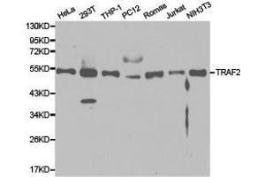 Western Blotting (WB) image for anti-TRAF2 antibody (TNF Receptor-Associated Factor 2) (ABIN1875191)