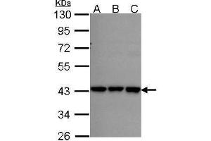 Western Blotting (WB) image for anti-Replication Factor C (Activator 1) 2, 40kDa (RFC2) (Center) antibody (ABIN2856035)