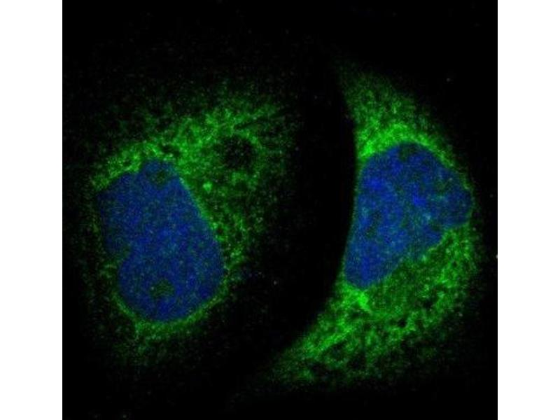 Immunofluorescence (IF) image for anti-Metadherin (MTDH) antibody (ABIN4332036)