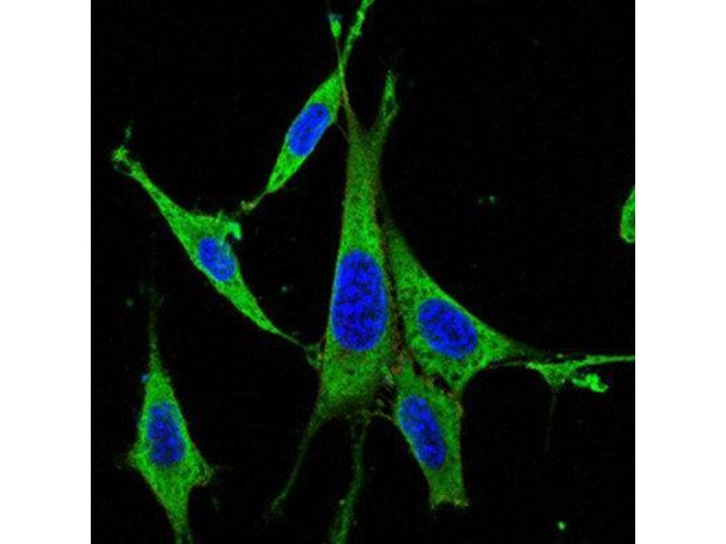Immunocytochemistry (ICC) image for anti-Mitogen-Activated Protein Kinase 3 (MAPK3) antibody (ABIN1844633)