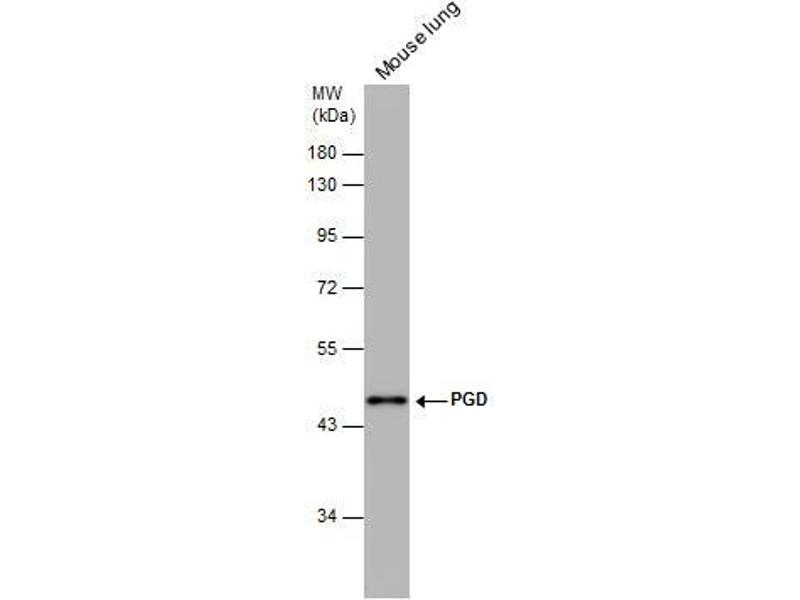 Western Blotting (WB) image for anti-Phosphogluconate Dehydrogenase (PGD) (Center) antibody (ABIN2855133)