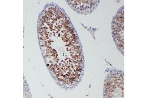 Image no. 3 for anti-DEAD Box Protein 4 (DDX4) (AA 253-272), (Middle Region) antibody (ABIN3044032)