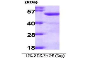 Image no. 1 for Aldehyde Dehydrogenase 2 Family (Mitochondrial) (ALDH2) (AA 18-517) protein (ABIN666745)