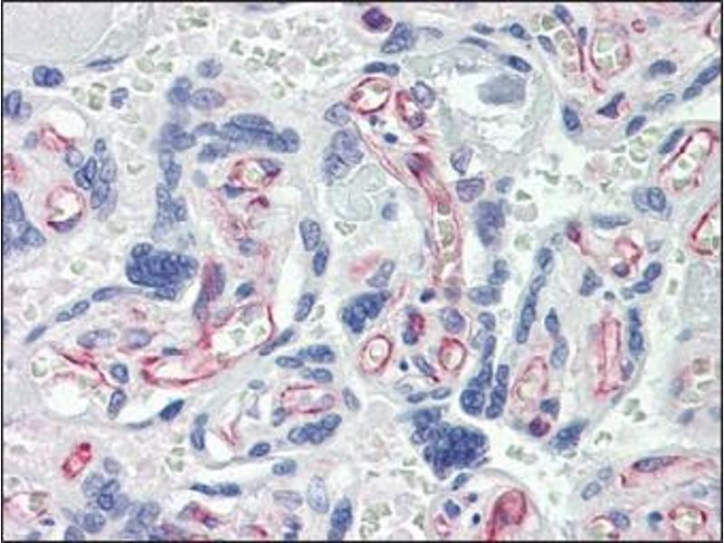 Immunohistochemistry (IHC) image for anti-Caspase 7 antibody (Caspase 7, Apoptosis-Related Cysteine Peptidase) (ABIN614356)