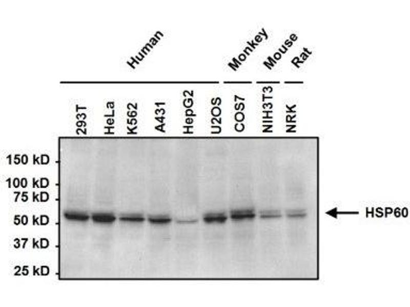 Western Blotting (WB) image for anti-Heat Shock 60kDa Protein 1 (Chaperonin) (HSPD1) antibody (ABIN267325)