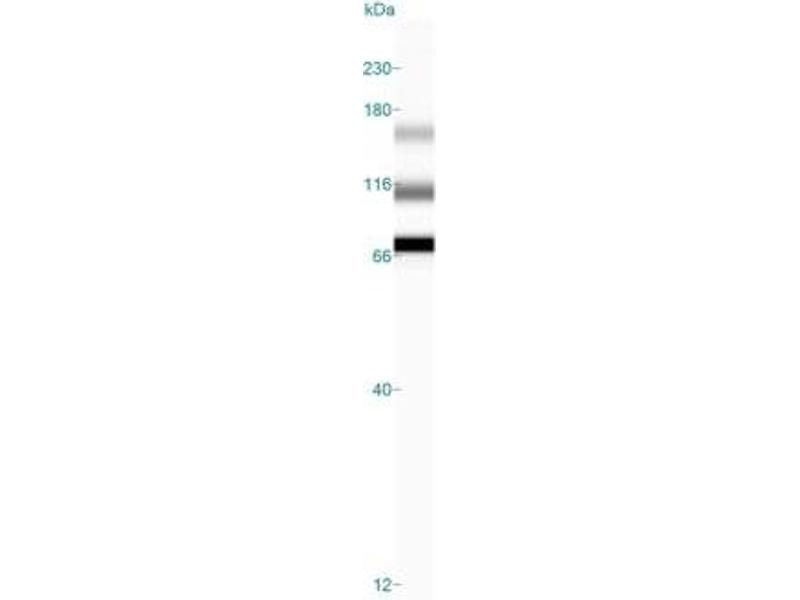 Simple Western (SimWes) image for anti-Aryl Hydrocarbon Receptor (AHR) (C-Term) antibody (ABIN250676)