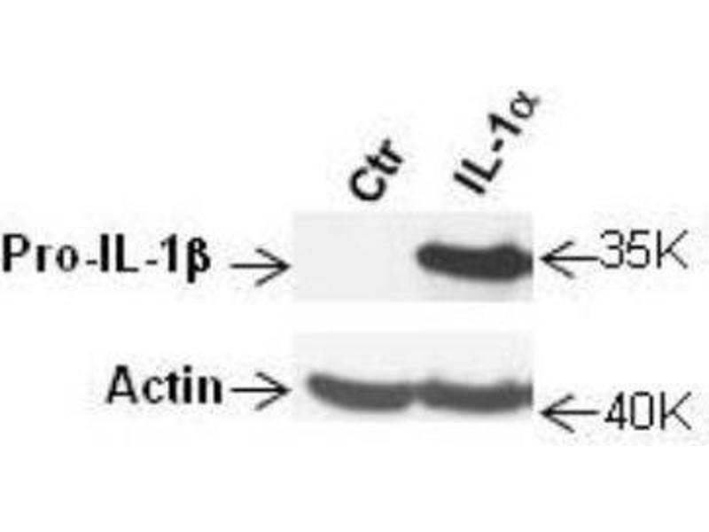 Western Blotting (WB) image for anti-IL1B antibody (Interleukin 1, beta) (N-Term) (ABIN269770)