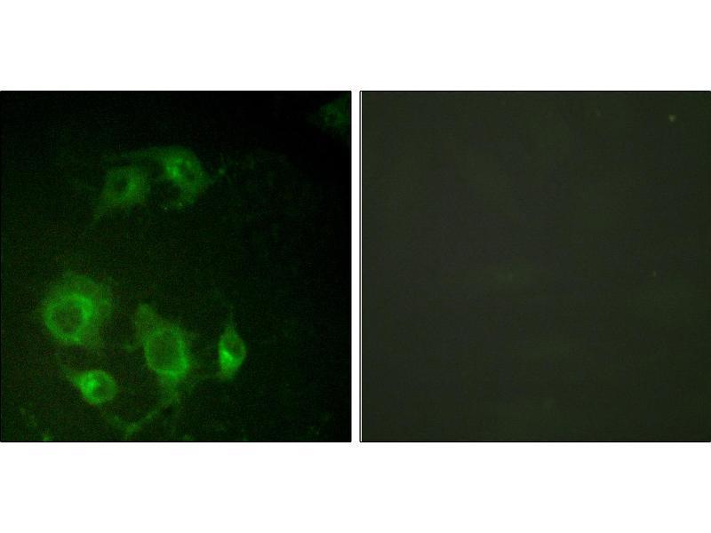 Image no. 3 for anti-Epidermal Growth Factor Receptor (EGFR) (Thr693) antibody (ABIN1576214)