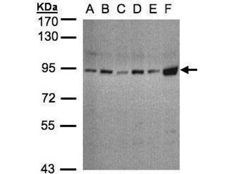 Western Blotting (WB) image for anti-STAT3 antibody (Signal Transducer and Activator of Transcription 3 (Acute-Phase Response Factor)) (C-Term) (ABIN2855865)