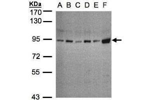 Image no. 1 for anti-Signal Transducer and Activator of Transcription 3 (Acute-Phase Response Factor) (STAT3) (C-Term) antibody (ABIN2855865)