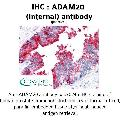 anti-ADAM20 抗体 (ADAM Metallopeptidase Domain 20) (Internal Region)
