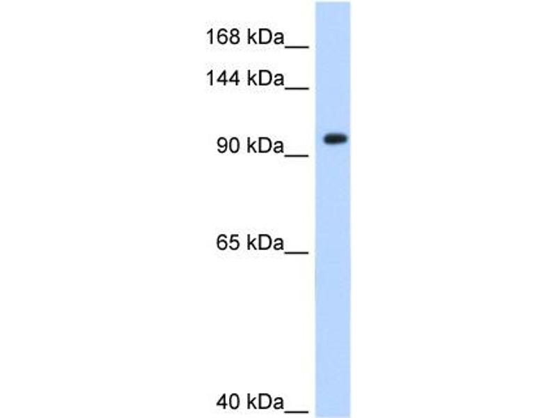 Western Blotting (WB) image for anti-Splicing Factor 3a, Subunit 1 (SF3A1) (N-Term) antibody (ABIN310053)