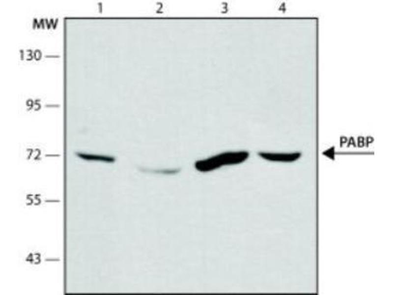 Western Blotting (WB) image for anti-Poly(A) Binding Protein, Cytoplasmic 1 (PABPC1) antibody (ABIN267505)
