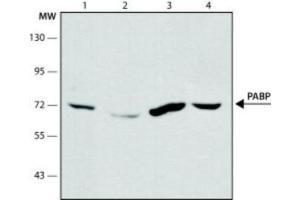 Western Blotting (WB) image for anti-Poly(A) Binding Protein, Cytoplasmic 1 (PABPC1) antibody (ABIN267505)