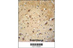 Image no. 1 for anti-DDB1 and CUL4 Associated Factor 13 (DCAF13) (AA 369-398), (C-Term) antibody (ABIN654792)