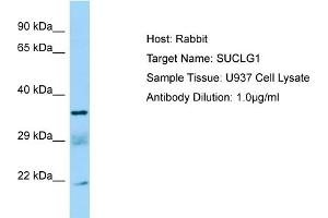 Image no. 1 for anti-Succinate-CoA Ligase, alpha Subunit (SUCLG1) (C-Term) antibody (ABIN2790136)