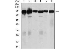 Image no. 2 for anti-Transforming Growth Factor, beta Receptor III (TGFBR3) (AA 147-328) antibody (ABIN1724752)