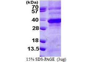 Image no. 1 for Regucalcin (RGN) (AA 1-299) protein (His tag) (ABIN667537)