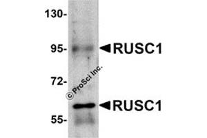 Image no. 2 for anti-RUN and SH3 Domain Containing 1 (RUSC1) (C-Term) antibody (ABIN1030631)