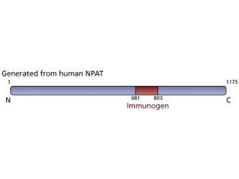 Image no. 3 for anti-Nuclear Protein, Ataxia-Telangiectasia Locus (NPAT) (AA 681-803) antibody (ABIN968484)