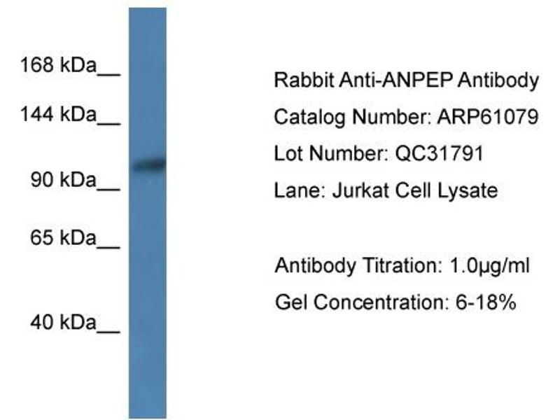 Western Blotting (WB) image for anti-Alanyl (Membrane) Aminopeptidase (ANPEP) (N-Term) antibody (ABIN2788665)