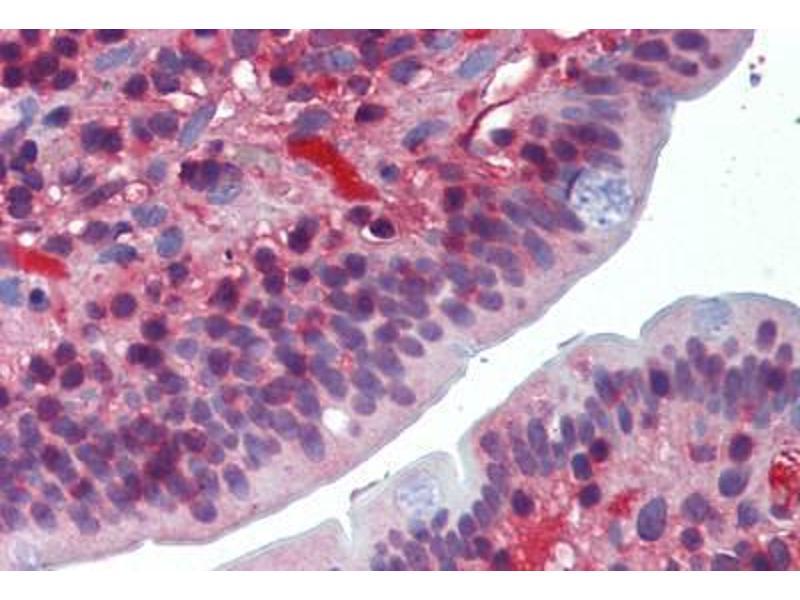 Image no. 1 for anti-DNA-Damage-Inducible Transcript 3 (DDIT3) antibody (ABIN462338)