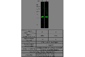 Image no. 1 for anti-Ubiquitin Carboxyl-terminal Esterase L3 (Ubiquitin Thiolesterase) (Uchl3) (AA 2-230) antibody (ABIN1998991)