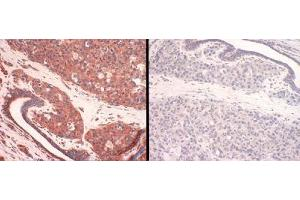 Immunohistochemistry (IHC) image for anti-Solute Carrier Family 31, Member 1 (SLC31A1) (C-Term) antibody (ABIN251444)