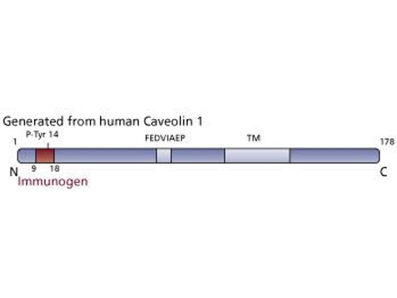 image for anti-Caveolin (LOC100313571) (pTyr14) antibody (ABIN968481)