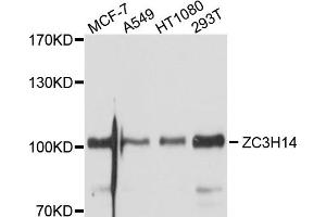 Image no. 1 for anti-Zinc Finger CCCH-Type Containing 14 (ZC3H14) antibody (ABIN6566896)