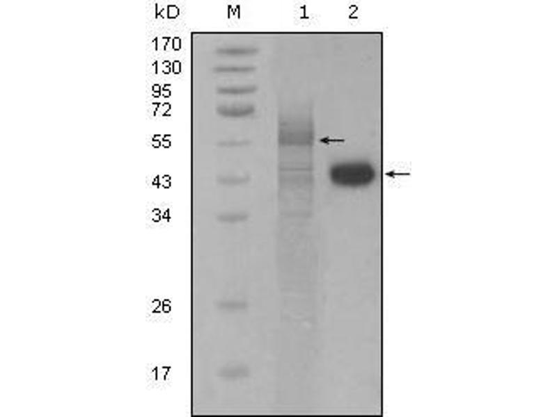 Western Blotting (WB) image for anti-Coagulation Factor II (Thrombin) Receptor-Like 3 (F2RL3) (AA 1-330) antibody (ABIN1724706)