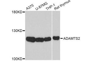Image no. 1 for anti-ADAM Metallopeptidase with Thrombospondin Type 1 Motif, 2 (Adamts2) antibody (ABIN4902839)