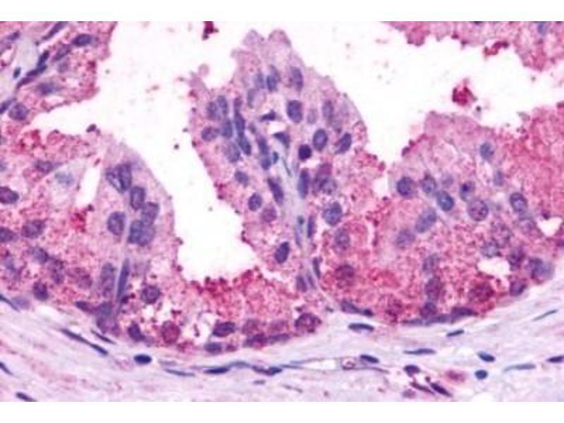 Immunofluorescence (Paraffin-embedded Sections) (IF (p)) image for anti-Brain-Specific Angiogenesis Inhibitor 1 (BAI1) (C-Term) antibody (ABIN4282967)
