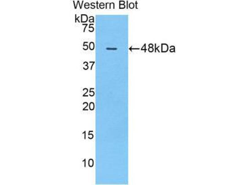 Western Blotting (WB) image for anti-Fas Ligand (TNF Superfamily, Member 6) (FASL) (AA 100-278) antibody (ABIN1858801)