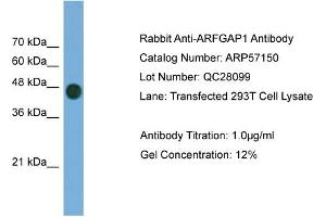 Western Blotting (WB) image for anti-ADP-Ribosylation Factor GTPase Activating Protein 1 (ARFGAP1) (Middle Region) antibody (ABIN2787085)