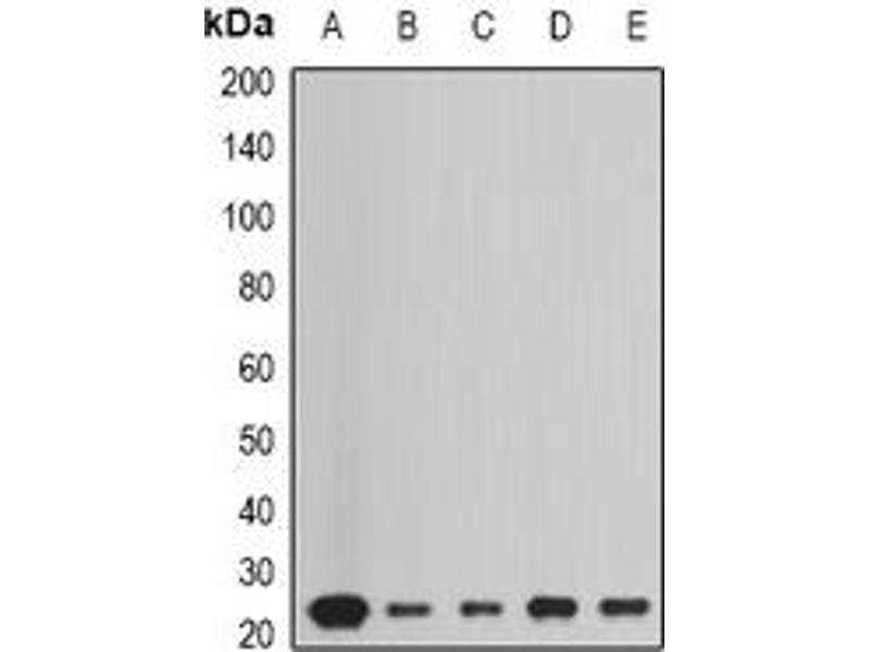 Western Blotting (WB) image for anti-Peroxiredoxin 1 antibody (PRDX1) (ABIN3198257)