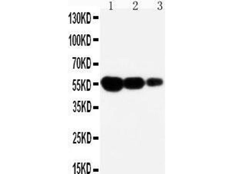 Western Blotting (WB) image for anti-Fas (TNF Receptor Superfamily, Member 6) (FAS) (AA 87-109), (N-Term) antibody (ABIN3044338)