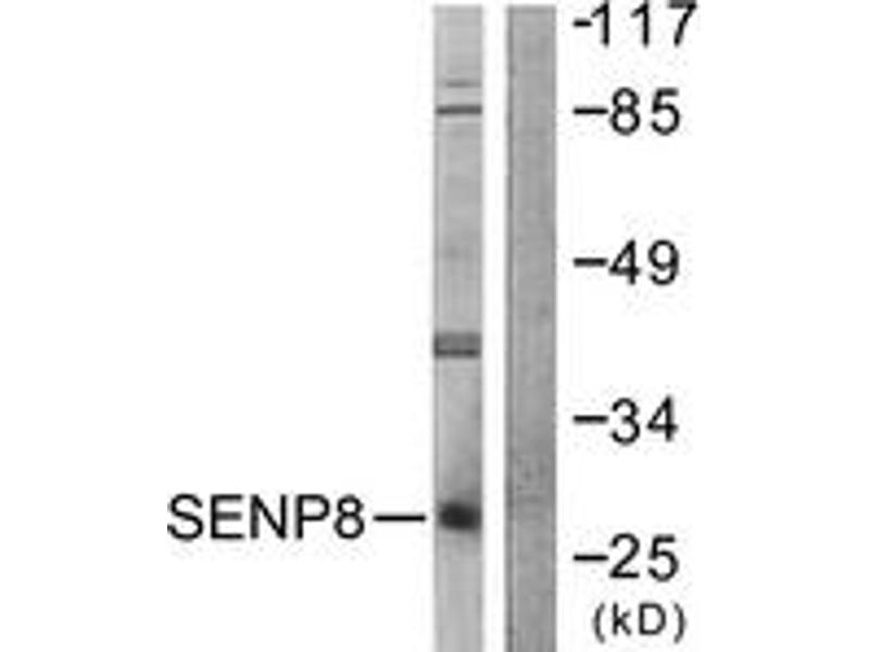 Western Blotting (WB) image for anti-SUMO/sentrin Specific Peptidase Family Member 8 (SENP8) (AA 161-210) antibody (ABIN1533442)