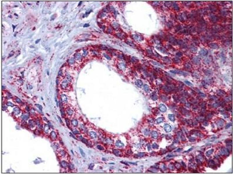 Immunohistochemistry (Paraffin-embedded Sections) (IHC (p)) image for anti-Heat Shock 70kDa Protein 9 (Mortalin) (HSPA9) (C-Term) antibody (ABIN784589)
