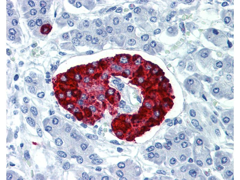 Immunohistochemistry (IHC) image for anti-Carboxypeptidase E (CPE) (C-Term) antibody (ABIN1804670)