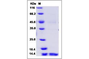 Image no. 1 for C-Type Lectin Domain Family 7, Member A (CLEC7A) (AA 66-201), (Extracellular Domain) protein (ABIN2002372)
