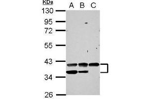 Image no. 3 for anti-Vascular Endothelial Growth Factor (VEGF) (C-Term) antibody (ABIN2855448)