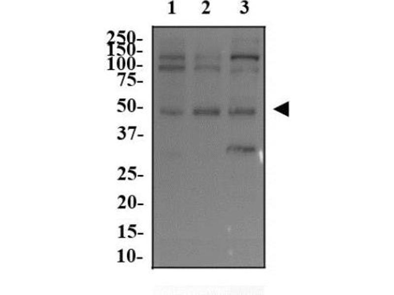 Western Blotting (WB) image for anti-V-Myc Myelocytomatosis Viral Oncogene Homolog (Avian) (MYC) antibody (ABIN152253)
