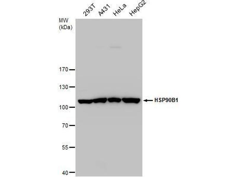 Western Blotting (WB) image for anti-Heat Shock Protein 90kDa beta (Grp94), Member 1 (HSP90B1) (C-Term) antibody (ABIN2855586)
